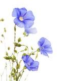 Schöne Blumen des Flachses Stockfotos