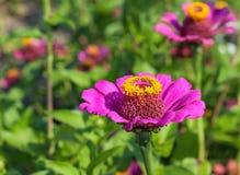 Schöne Blumen des purpurroten Zinnia in der Natur Stockbilder