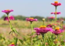 Schöne Blumen des purpurroten Zinnia in der Natur Stockfotos