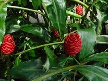 Schöne Blumen des roten Ingwers Stockfotografie