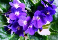 Schöne Blumen des Veilchens, Abschluss oben Lizenzfreie Stockfotografie