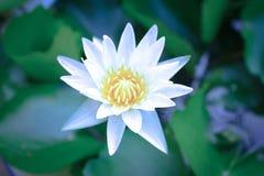 Schöne Blumen des weißen Lotos in der Blüte, Nahaufnahme Lizenzfreies Stockfoto