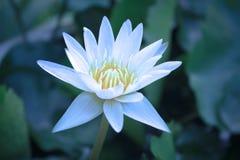 Schöne Blumen des weißen Lotos in der Blüte, Nahaufnahme Lizenzfreie Stockfotografie