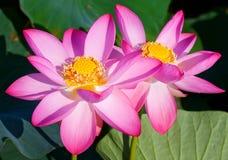 Schöne Blumen eines Lotos Stockbilder