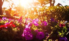 Schöne Blumen haben rosa Farbe, rote Farbe, orange Farbe und wenig bokeh zwischen Sonnenuntergang Stockfotos
