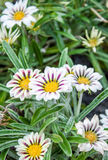Schöne Blumen im Garten Lizenzfreie Stockfotos