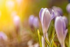 Schöne Blumen im sonnigen Licht Junge Blumen mit den ungeöffneten empfindlichen Knospen lizenzfreie stockfotografie