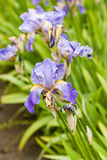 Schöne Blumen Iris mit Wassertropfen nach einem Regen Lizenzfreie Stockfotografie