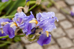 Schöne Blumen Iris mit Wassertropfen nach einem Regen Lizenzfreies Stockbild