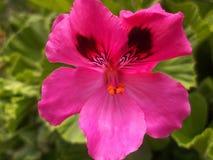 Schöne Blumen-Pelargonie Lizenzfreies Stockfoto
