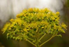 Schöne Blumen von Aeonium Stockbilder