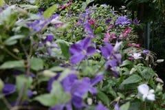 Schöne Blumen von blühenden violetten Klematis mit Tröpfchen des Regens, großer Busch von den Klematis, die im Garten wachsen stockfotografie