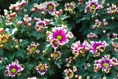 Schöne Blumen von Chrysanthemen Stockfoto