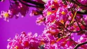 schöne Blumen von ipê Rosa im Zeitpunkt der Blüte, diese a stockfoto