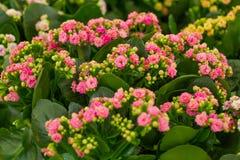 Schöne Blumen von Kalanchoe lizenzfreie stockfotografie
