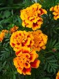 Schöne Blumen von tagetes Stockbilder
