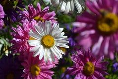 Schöne Blumenfarbweißes rosa sonniges Stockbild