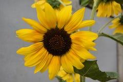 Schöne Blumengelbsonnenblume Lizenzfreies Stockbild