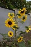 Schöne Blumengelbsonnenblume Stockfoto