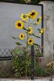 Schöne Blumengelbsonnenblume Stockfotos