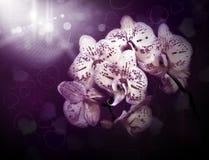 Schöne Blumenorchideen in der Nacht Lizenzfreie Stockfotografie