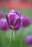 Schöne Blumenpurpurtulpe Stockfoto