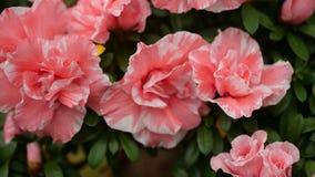 Schöne Blumentapete mit rosa Blumen Stockbild
