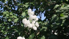 Schöne Blumenweißflieder stock video footage
