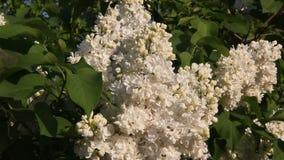 Schöne Blumenweißflieder stock video
