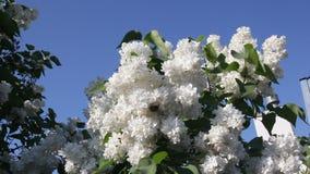 Schöne Blumenweißflieder stock footage