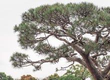 Schöne Bonsaibäume Lizenzfreie Stockfotografie