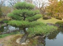 Schöne Bonsaibäume in einer japanischen Art arbeiten im Garten Lizenzfreie Stockbilder