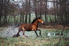 Schöne Brauneäpfel mit einer langen Mähne, die durch das Wasser galoppiert Pferdeläufe, die Spray anheben Stockbild