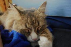 Schöne braune flaumige Katze schläft in Kommode stockfotografie