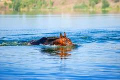 Schöne braune Hengstschwimmen Stockfoto