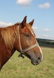 Schöne braune Pferdennahaufnahme lizenzfreie stockfotos