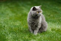 Schöne britische blaue Shorthair-Katze lizenzfreie stockfotos