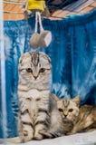 Schöne britische gestreifte Katze mit einem Kätzchen lizenzfreie stockfotografie