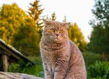 Schöne britische Katze in der Natur Lizenzfreie Stockfotografie