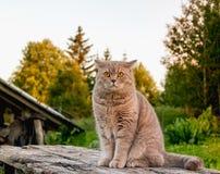 Schöne britische Katze in der Natur Stockfotos