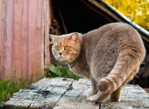 Schöne britische Katze in der Natur Lizenzfreies Stockfoto