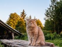 Schöne britische Katze in der Natur Lizenzfreie Stockfotos