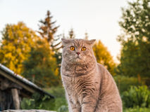 Schöne britische Katze in der Natur Stockbild