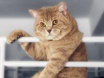 Schöne britische Katze, die auf Geländer sich lehnt Lizenzfreie Stockfotografie
