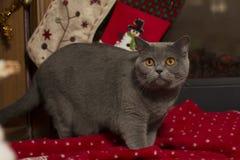 Schöne britische Katze und das Plaid des neuen Jahres, Socken auf dem Kamin Lizenzfreies Stockbild