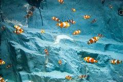 Schöne bunte Fische im Aquarium, Vietnam Stockfotos