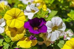 Schöne bunte Frühlingsblumen Lizenzfreie Stockfotos