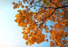 Schöne bunte Herbstahornblätter stockfotografie
