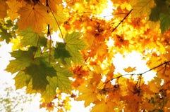 Schöne bunte Herbstahornblätter lizenzfreies stockfoto