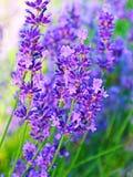 Schöne bunte Lavendelblumen in der Blüte Stockfotos